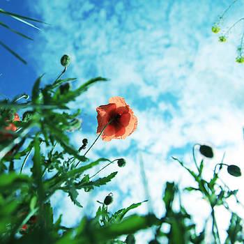 Poppy Flower by Falko Follert