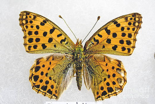 Queen of Spain Fritillary Issoria  lathonia by Mary C Legg