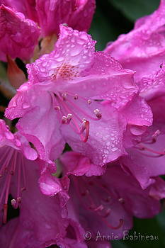 Annie Babineau - raindrops on rhody
