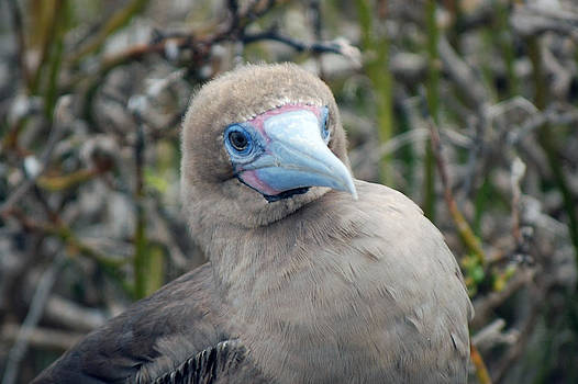 Harvey Barrison - Red Footed Booby