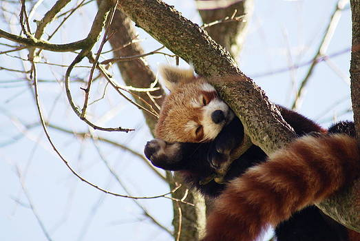 Red Panda by Christopher Beardall