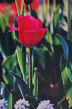 Red Tulip by Bob Whitt
