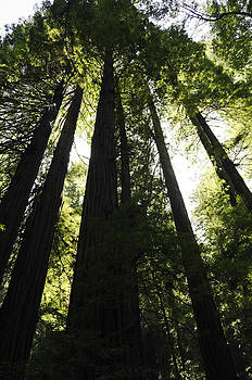 Red Woods by Paul Plaine