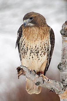 Redtail hawk by Cheryl Cencich