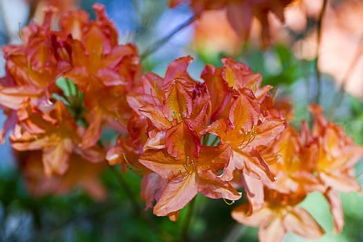 Frank Tschakert - Rhododendron flowers