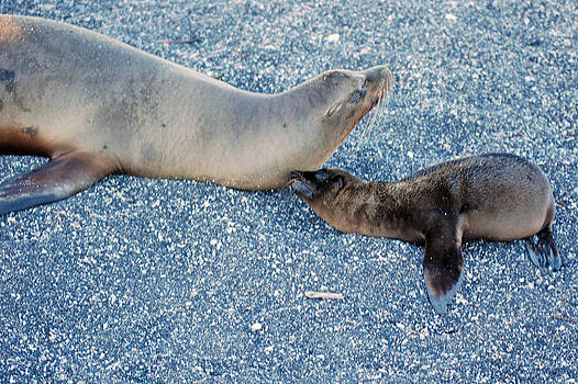 Harvey Barrison - Sea Lion with Pup