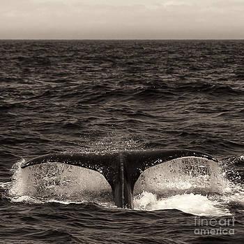 Darcy Michaelchuk - Sepia Humpback Tail