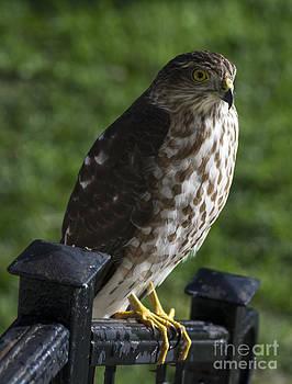 Sharp-shinned Hawk by TommyJohn PhotoImagery LLC