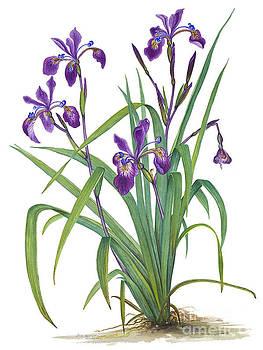 Siberian Iris  by Elizabeth H Tudor