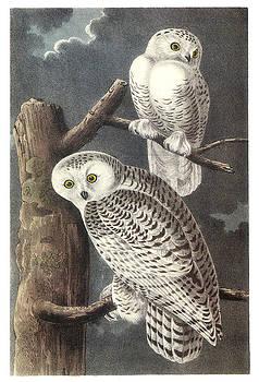 John James Audubon - Snowy Owl