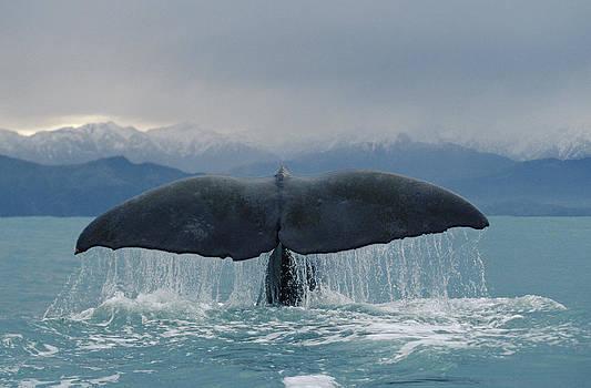Flip Nicklin - Sperm Whale Tail New Zealand