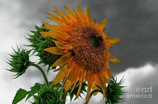 Sunflower. by Itai Minovitz