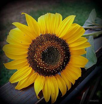 Sunflower  by Marija Djedovic