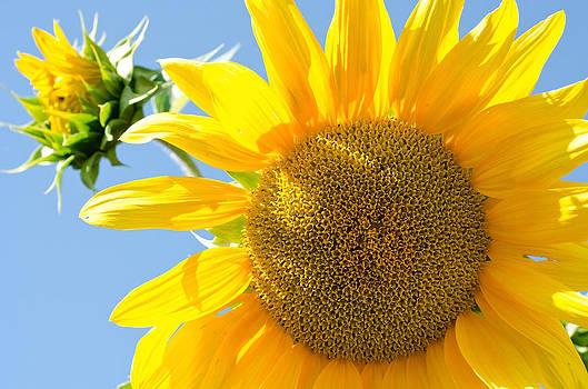Margaret Pitcher - Sunflower Study II