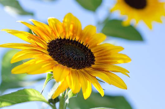 Margaret Pitcher - Sunflower Study IV