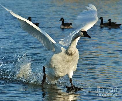 Joy Bradley - Swan Lake