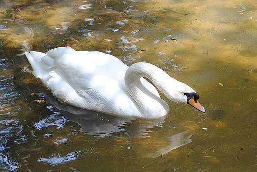 Swan by Melanie Wadman