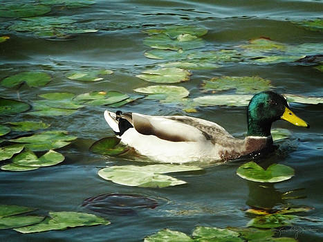 Swimming In Lily Pads by Karen Casey-Smith