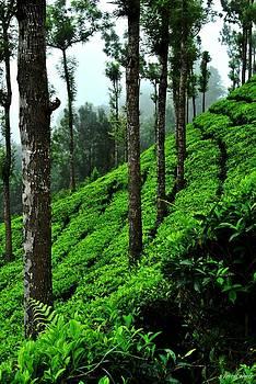 Tea Garden by Vinod Nair