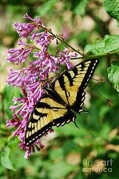 Tiger Swallowtail 3 by Crissy Sherman