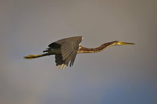 Christine Kapler - Tricolored Heron in fly