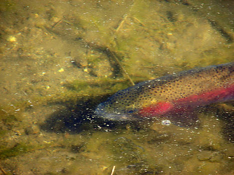 Trout Under Ice by Phyllis Britton