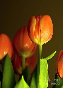 Tulips in Light II by Maria Aiello