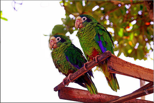 Twin Parrots by Janet G T