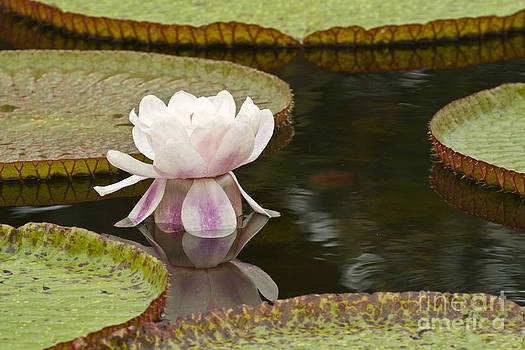 Heiko Koehrer-Wagner - Water Lily Victoria Amazonica