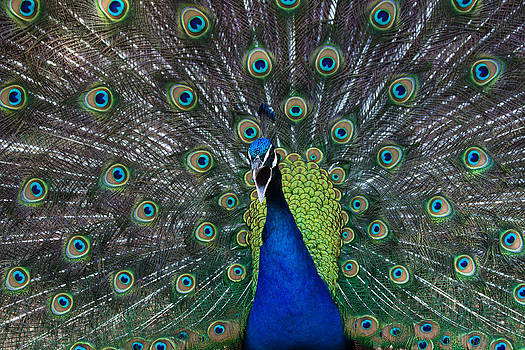 Vocal Peacock by Dan Lease