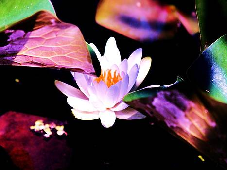 Water lily by Alisha Luby