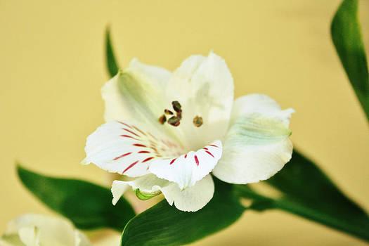 White Alstroemeria by Cathie Tyler