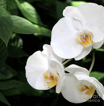 White Symphony Butterfly Orchid by Melina Geil