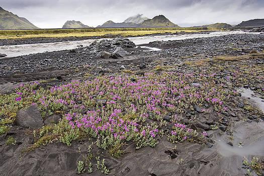 Wild Thyme - Landmannalaugar - Iceland by Phil Degginger