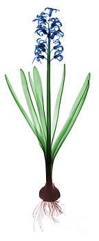 Ted Kinsman - X-ray Of Hyacinth