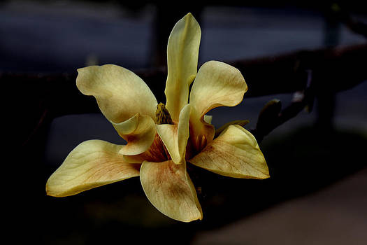 Yellow Magnolia - Going - 2 by Robert Morin