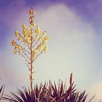 #yucca #blooming by Denise Taylor