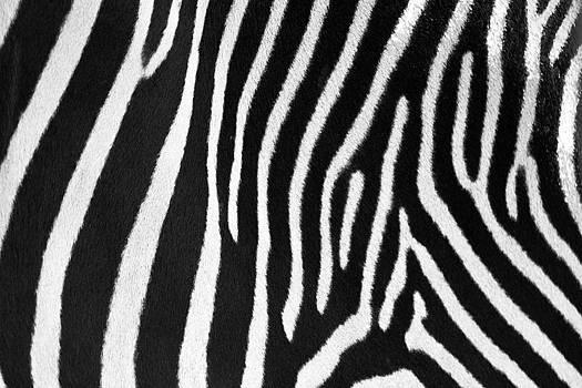 David Pringle - Zebra Stripes