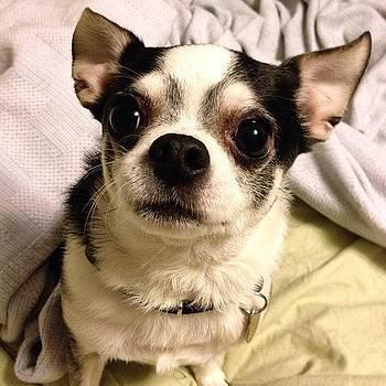 #dog, #chihuahua, #buster by Shari Malin