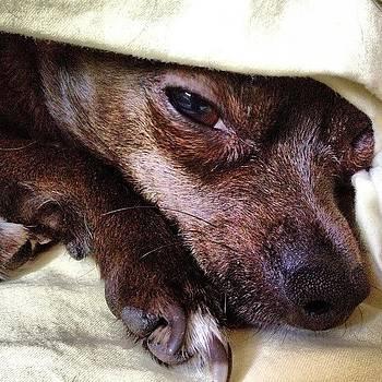 #dog, #chihuahua, #gracie by Shari Malin