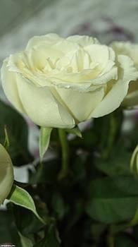 Rose for you  by Gornganogphatchara Kalapun