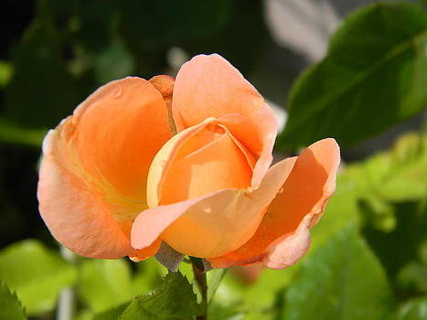1598 Rose for Those by Scott Bishop