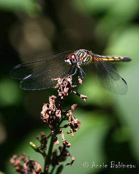 Anne Babineau - blue dasher dragonfly