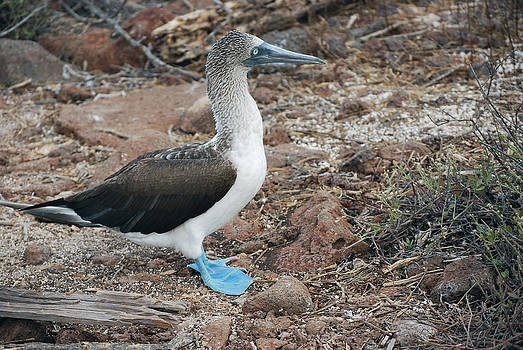 Harvey Barrison - Blue-Footed Booby