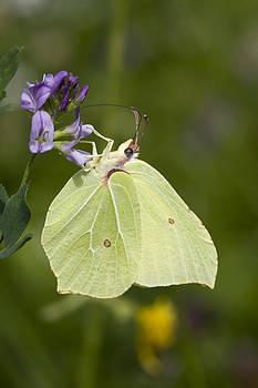 Butterfly by Falko Follert