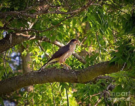 Cooper Hawk by Sue Stefanowicz