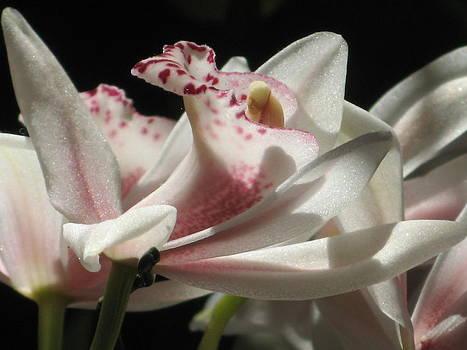 Alfred Ng - cymbidium orchid