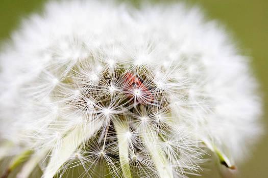 Dandelion Ladybugs by Falko Follert