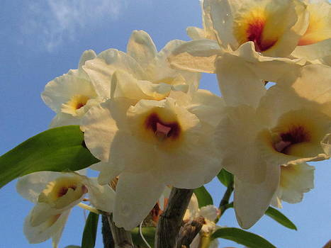 Alfred Ng - dendrobium orchid
