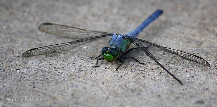 Annie Babineau - eastern pondhawk dragonfly
